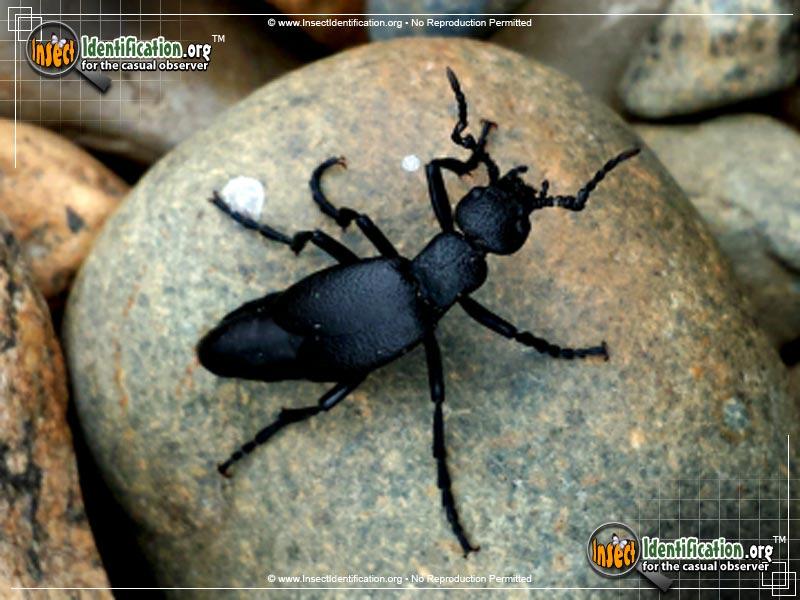 oil-beetle_2.jpg