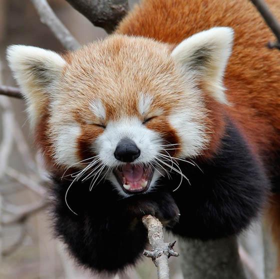 red panda.jpeg