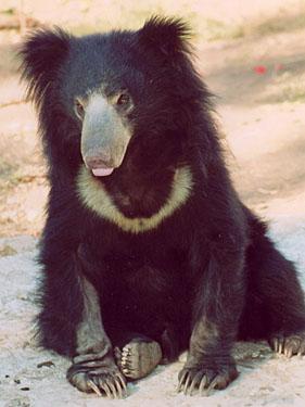 sloth_bear_03.jpg