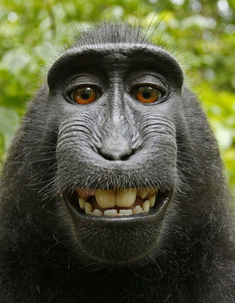 Un-photographe-poursuivi-en-justice-par-un-singe-a-cause-d-un-selfie.jpg