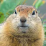 christopher the gopher